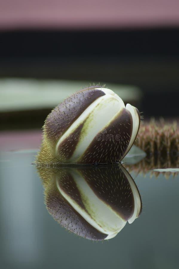 Reflexion för amasonWaterlily blomma (jätten WaterLily) royaltyfria bilder