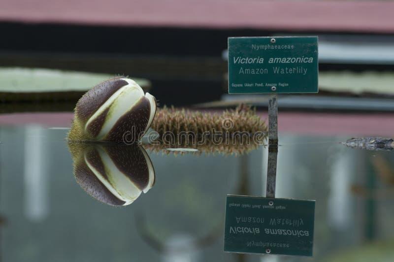 Reflexion för amasonWaterlily blomma (jätten WaterLily) royaltyfri fotografi