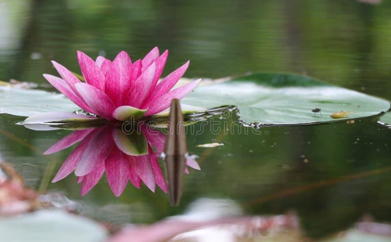 Reflexion för färg för rosa kronblad för lotusblomma härligt ljus i dammwina arkivbild