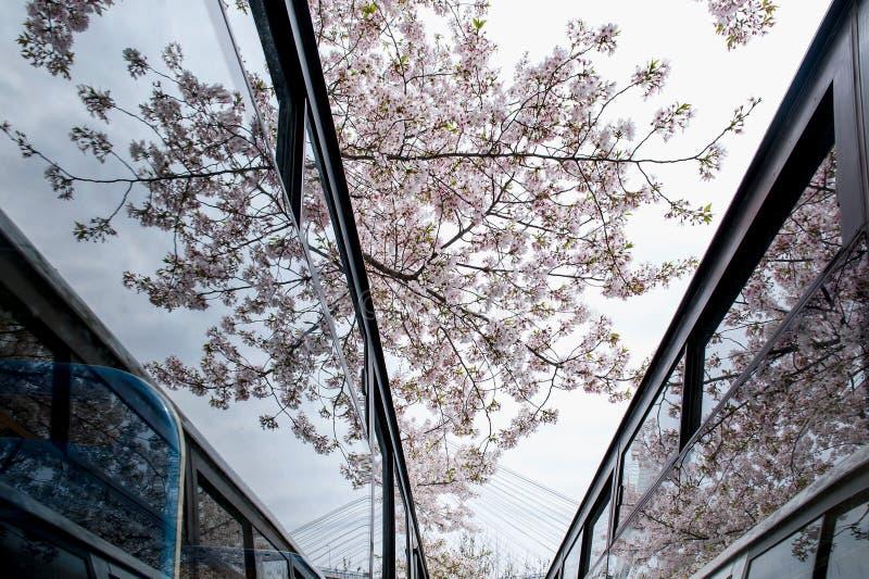 Reflexion för körsbärsröd blomning i exponeringsglas arkivfoto