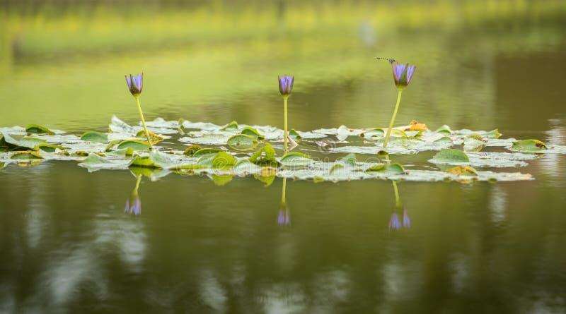 Reflexion för Violet Nymphaea lotusblommablommor på vattnet royaltyfri fotografi