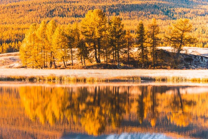 Reflexion i spegeln av dungen för gul poppel för sjöträd royaltyfria foton