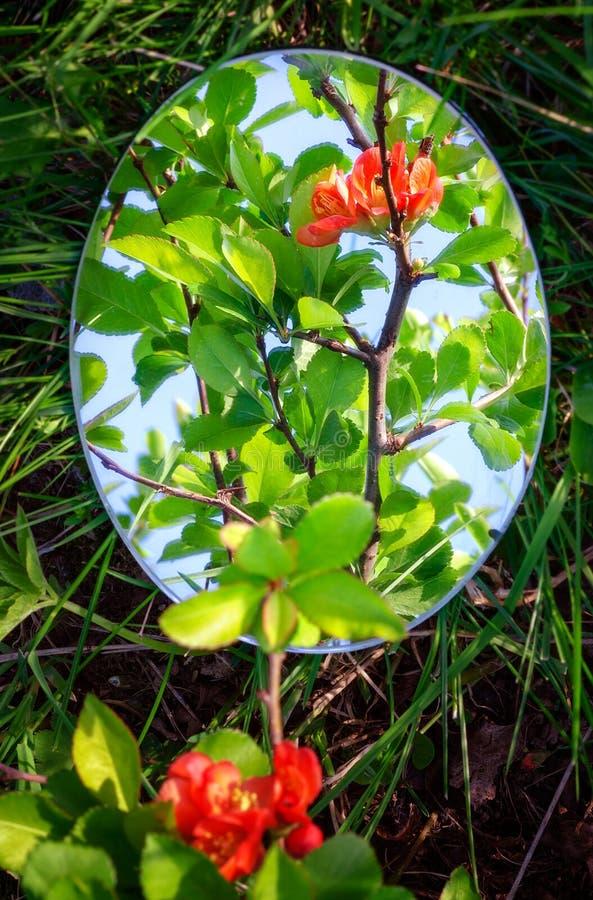 Reflexionen är en blomma av kvitten royaltyfri fotografi