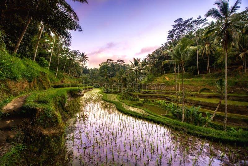 reflexionen av solnedgångfärger i ris terrasserar dalen i den Ubud byn, Bali, Indonesien Jordbruks- fält av risterrasser royaltyfria foton