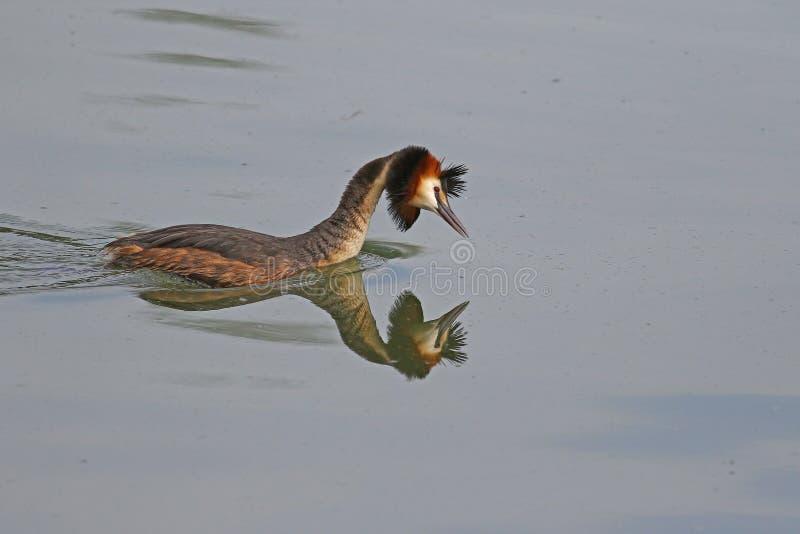 Reflexioner i vatten av en stor krönad dopping fotografering för bildbyråer