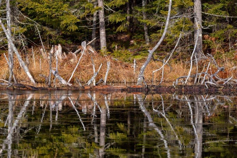 Reflexiones de árboles en una charca helada en Maine foto de archivo libre de regalías