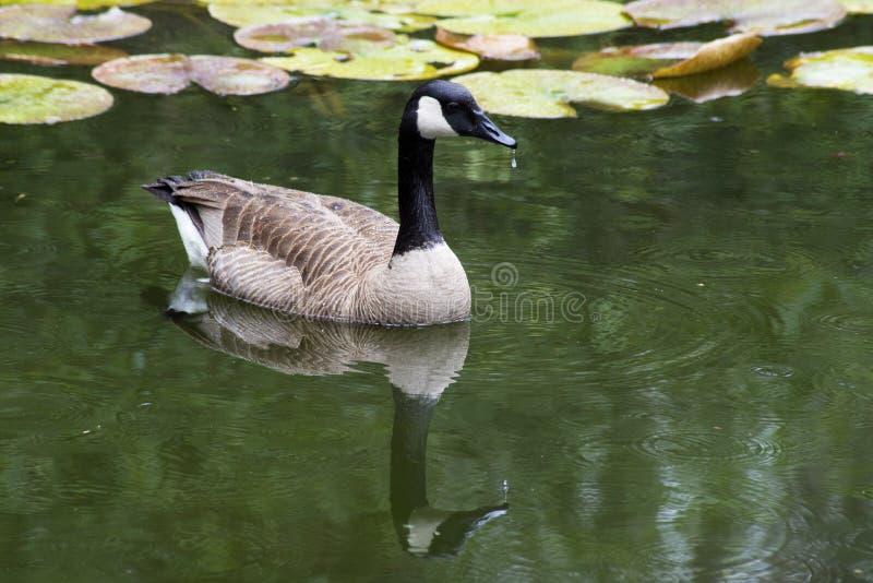 Reflexiones del agua de los gansos de Canadá imágenes de archivo libres de regalías
