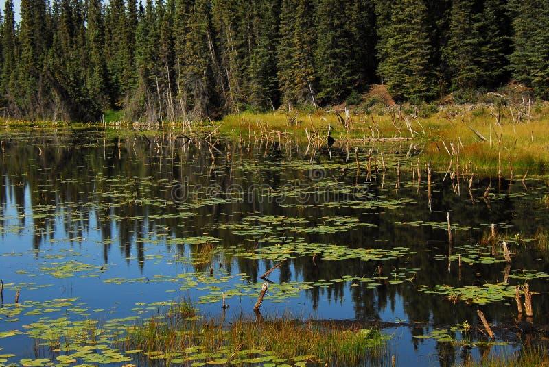 Reflexiones hermosas de Alaska en una charca Wrangell del lirio foto de archivo libre de regalías