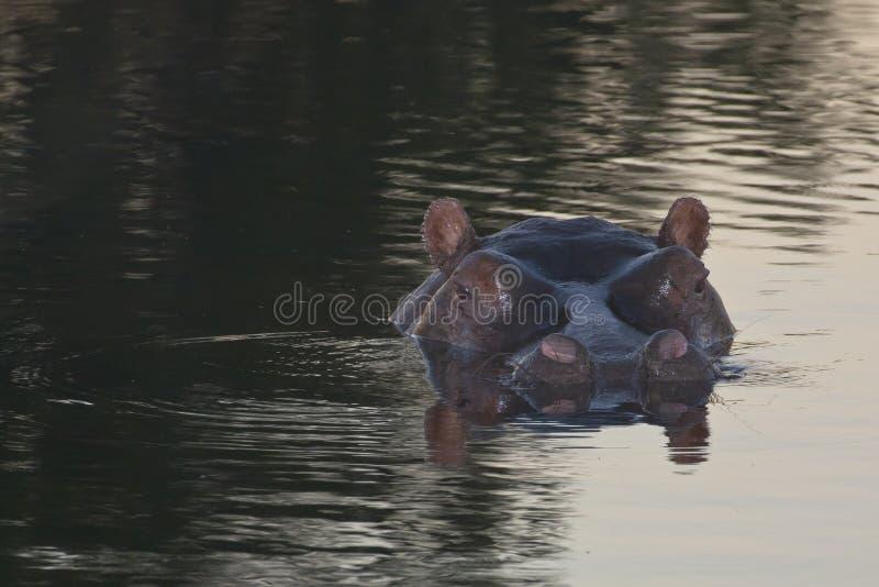 Reflexiones principales del hipopótamo en la oscuridad fotos de archivo