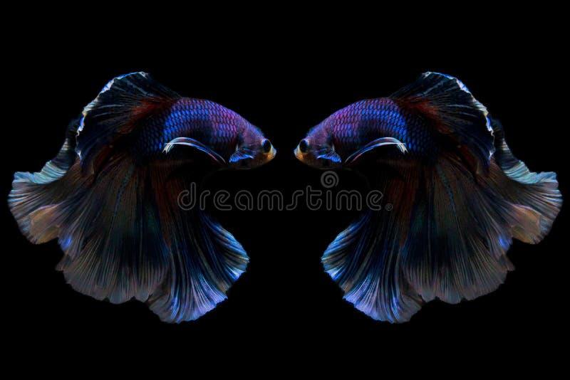 Reflexo de peixes de combate de Sião no fundo preto fotos de stock