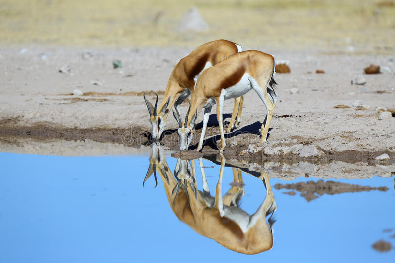 Reflextion of springbok pair at the water stock image