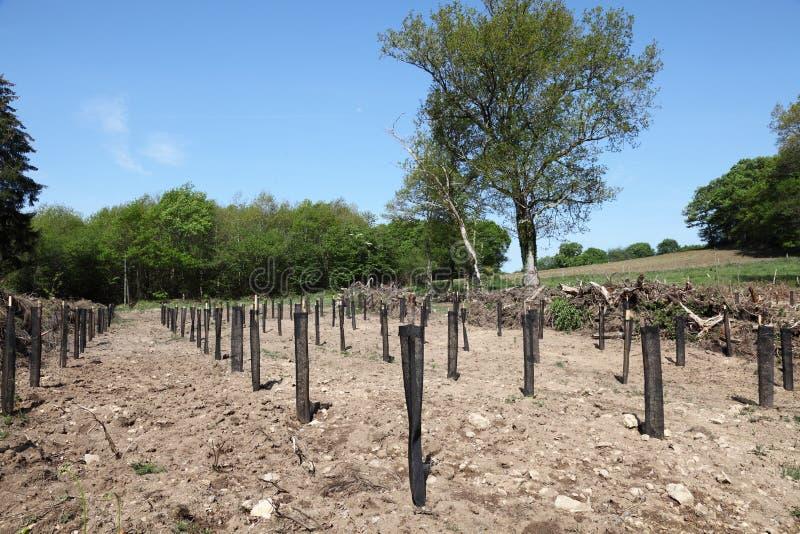 Reflorestamento de plantações do pinho foto de stock royalty free