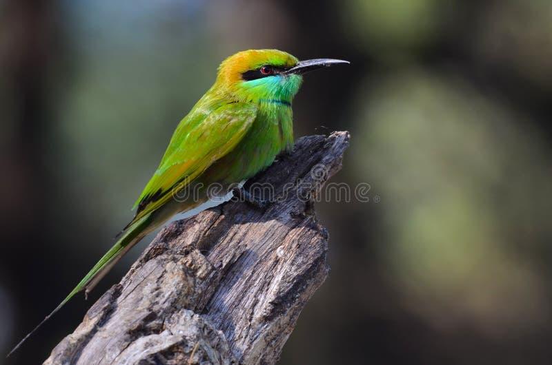 refugio de aves verde del thol del comedor de abeja foto de archivo