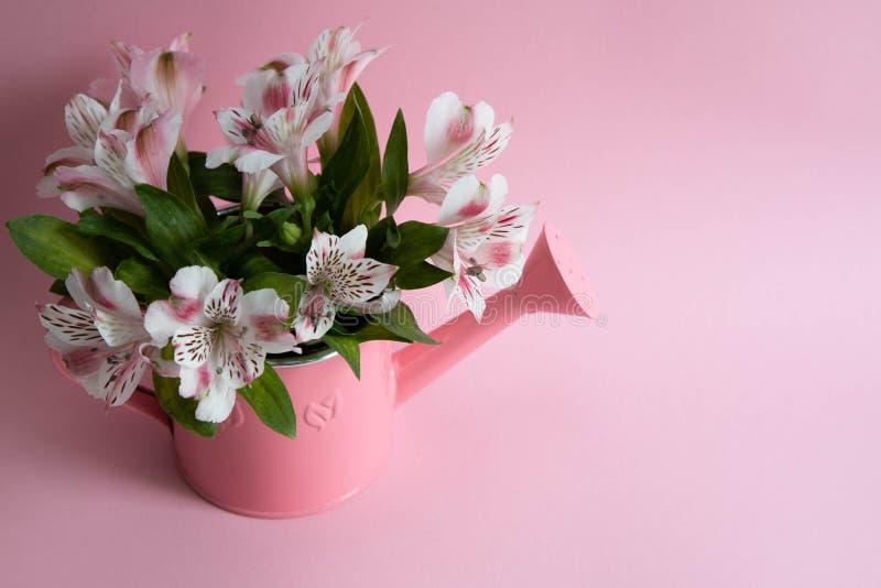 Regadera rosada con las flores, regadera con alstromeria, un ramo de flores en una regadera en un fondo rosado fotos de archivo
