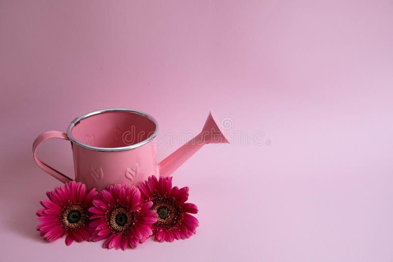 Regadera rosada vacía con tres flores de gerberas rojos Al lado de la regadera son tres margaritas carmesís en un rosa fotos de archivo libres de regalías