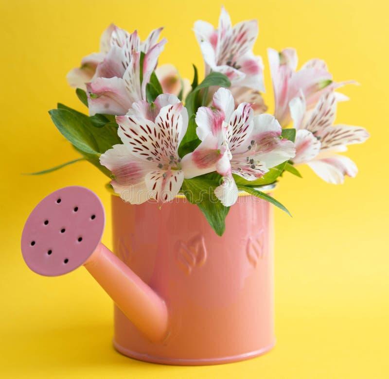 Regadera rosada vacía y tres flores carmesís del gerbera que mienten diagonalmente Tres flores rojas y una regadera vacía en a fotografía de archivo