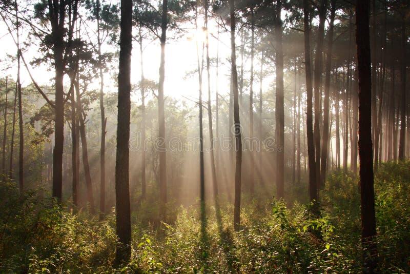 Regain shinning de pensée de rayon de soleil au milieu des pins image libre de droits