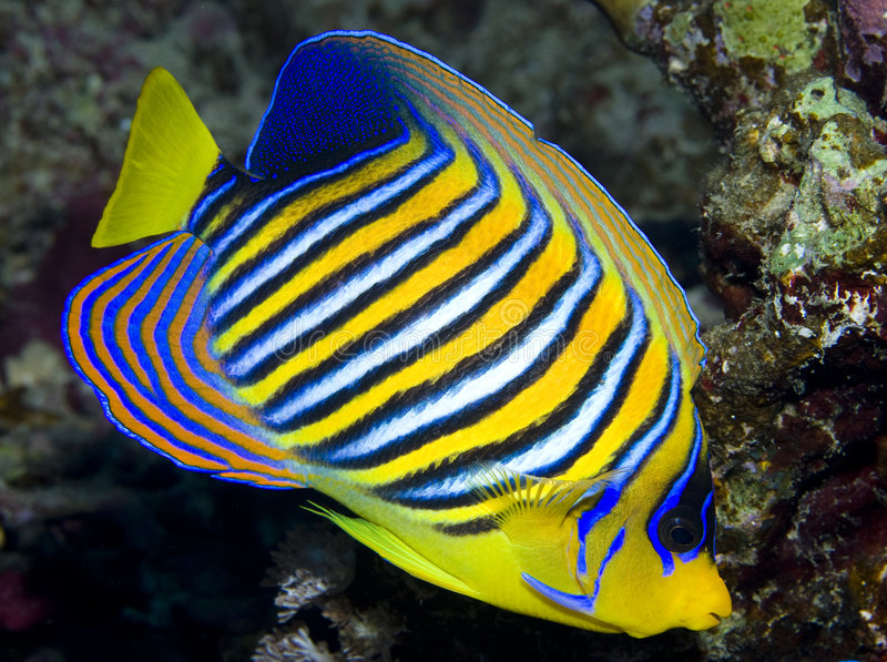 Regal Angelfish Stock Image. Image Of Coral, Angelfish