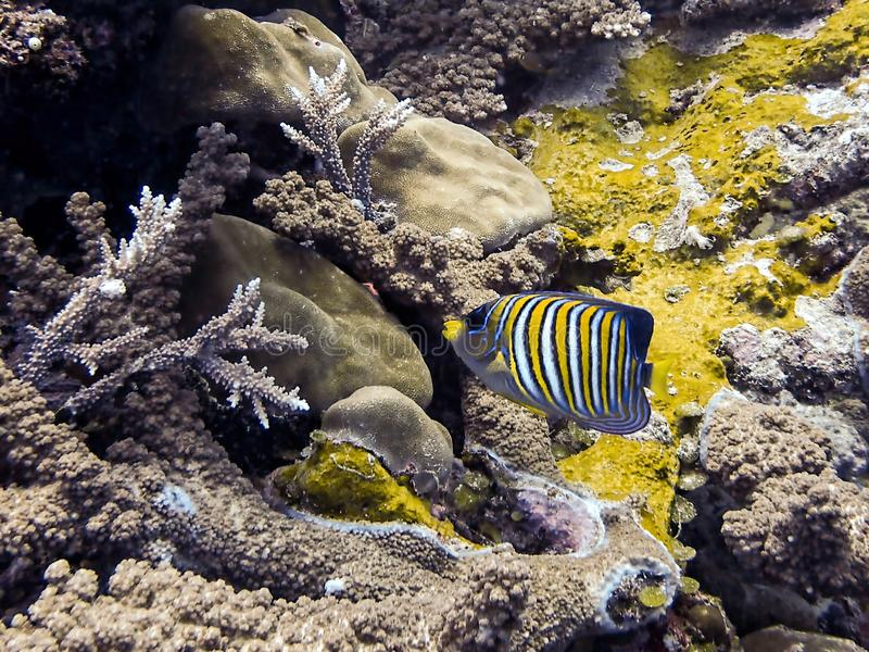 Regal Angelfish brightly striped tropical fish over coral reef underwater stock photo
