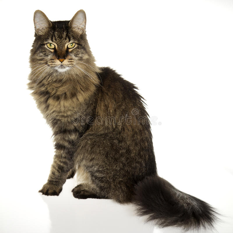 Download Regal Cat stock photo. Image of coon, regal, stare, majesty - 16159882