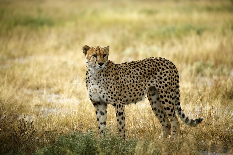 Regal Cheetah royalty free stock image