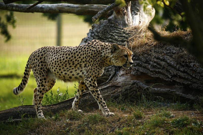Regal Cheetah the fastest animal in the world stock image