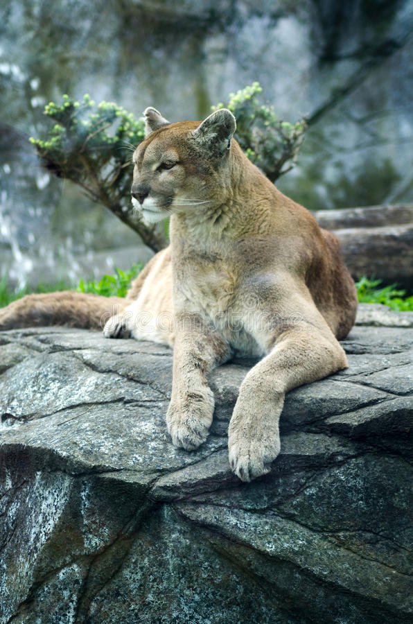 Regal cougar. A regal cougar sits peacefully on a rocky ledge in the mountains, but alert to any possible prey royalty free stock photo