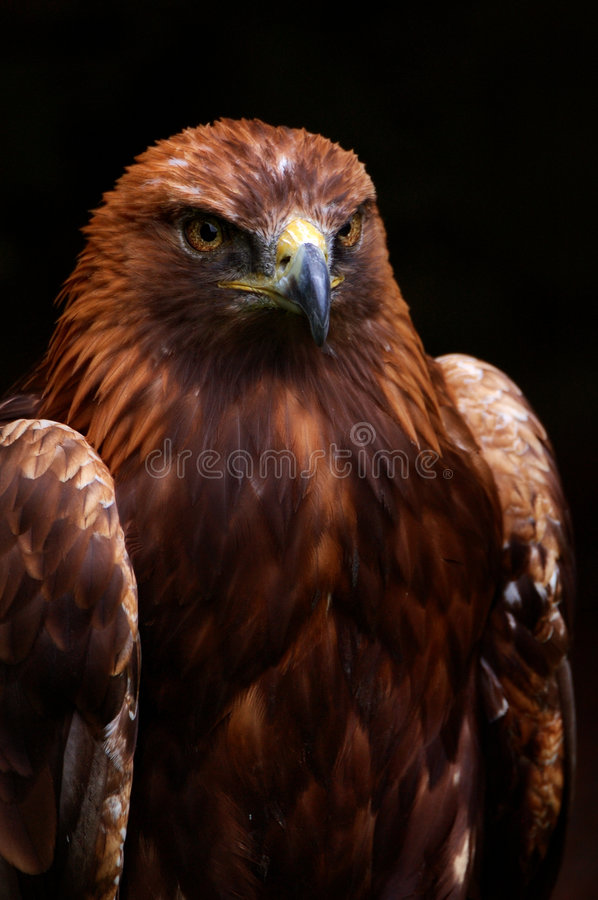 Regal Eagle 2. A picture of a Regal Eagle isolated against a black background stock photos