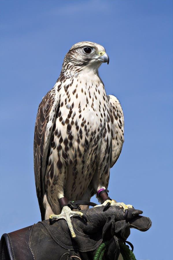 regal fågelhök royaltyfria bilder