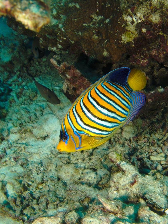 regal havsängel royaltyfri foto