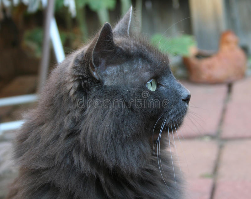 Regal katt royaltyfria foton