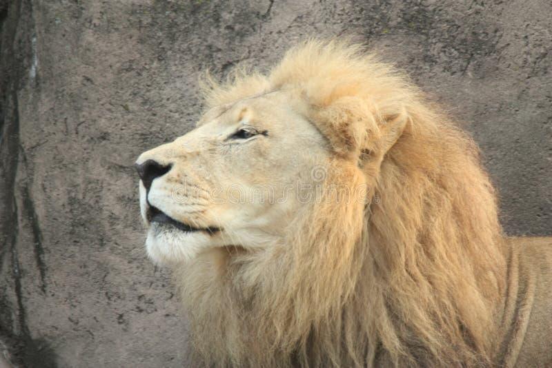 regal lion royaltyfri foto