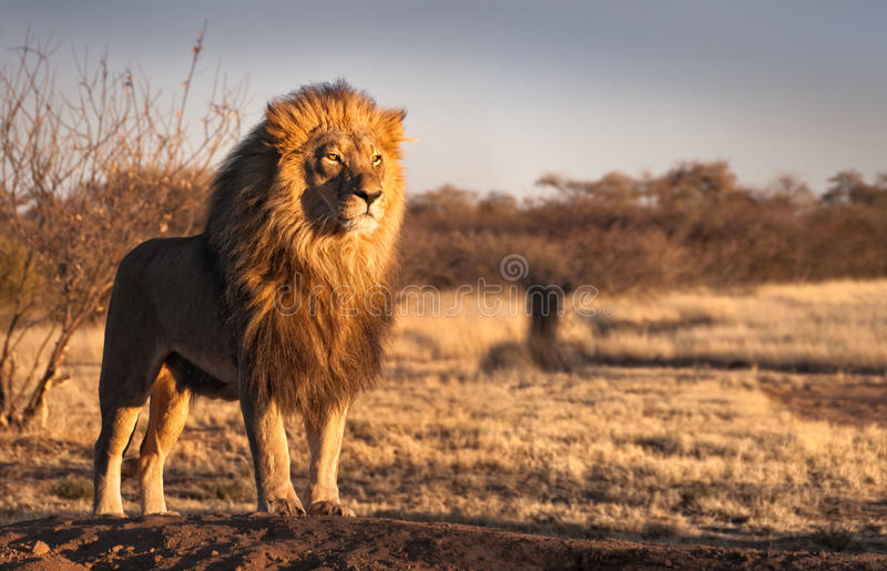 Regal lion on a hill royalty free stock photo