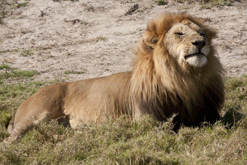 regal nöjd lion arkivfoto