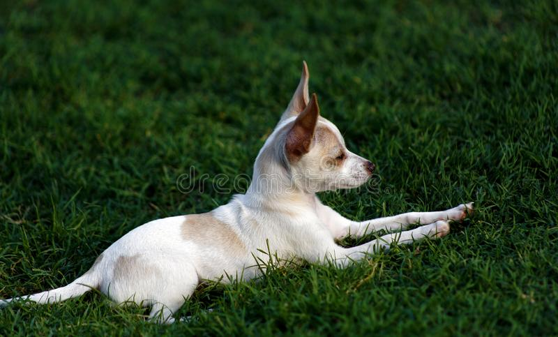 Regal Resting Chihuahua Puppy. Low angle closeup profile shot of a white and tan Chihuahua puppy lying in the grass looking off in the distance royalty free stock photo