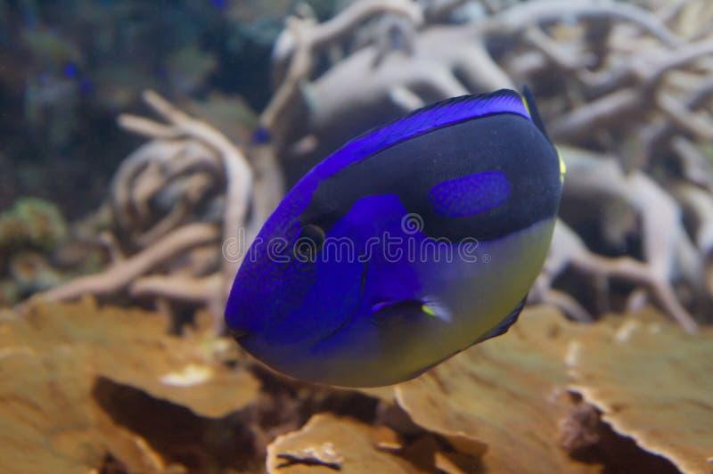 regal tang för blå dory royaltyfri fotografi