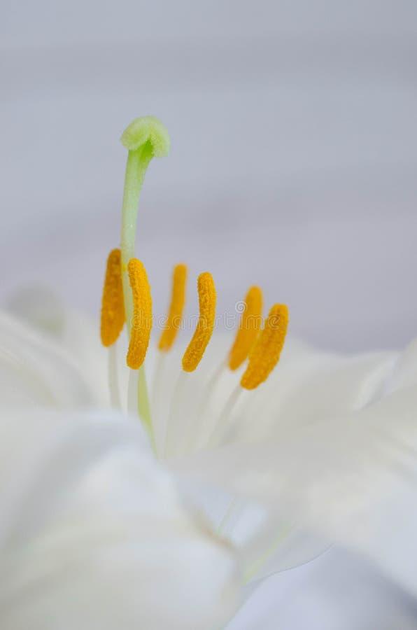 Regale Trompete-Lilie stockbilder