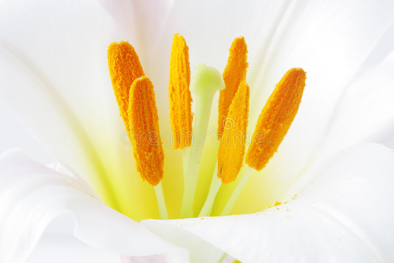 Regale Trumpet Lily stock image