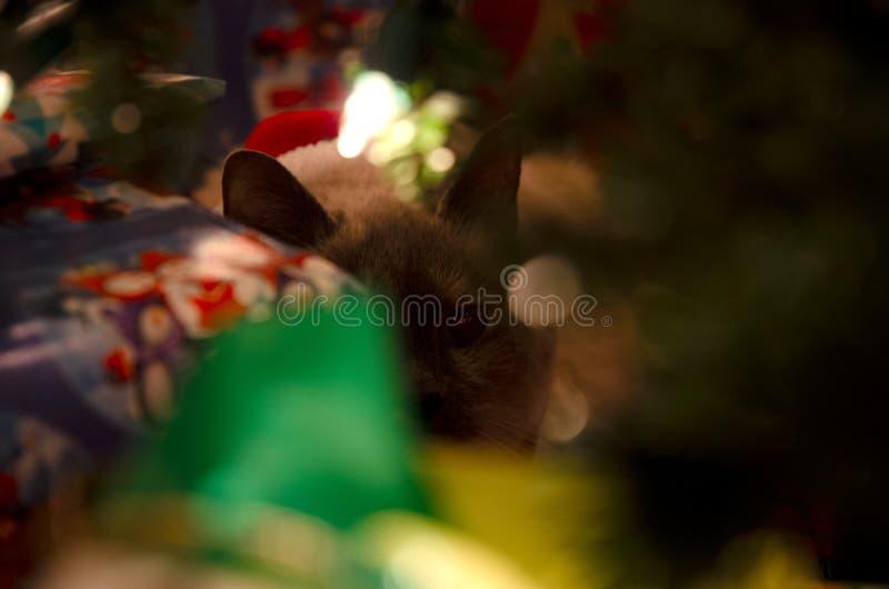 Regalo che dà una occhiata al gatto di Natale fotografia stock libera da diritti