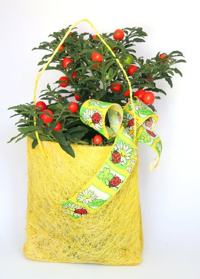Regalo de la planta de la cereza de la Navidad imagenes de archivo