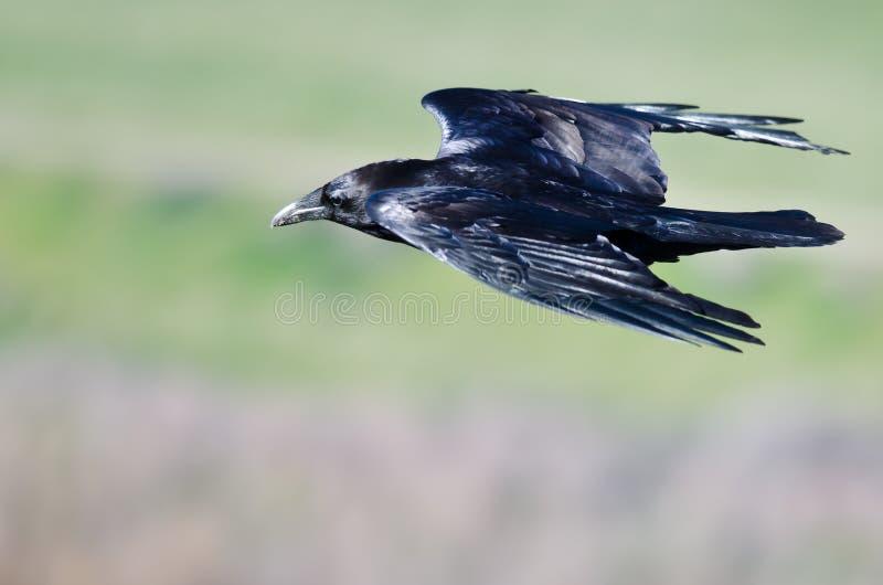 Regard étroit chez Raven Flying Through commune le ciel photographie stock libre de droits