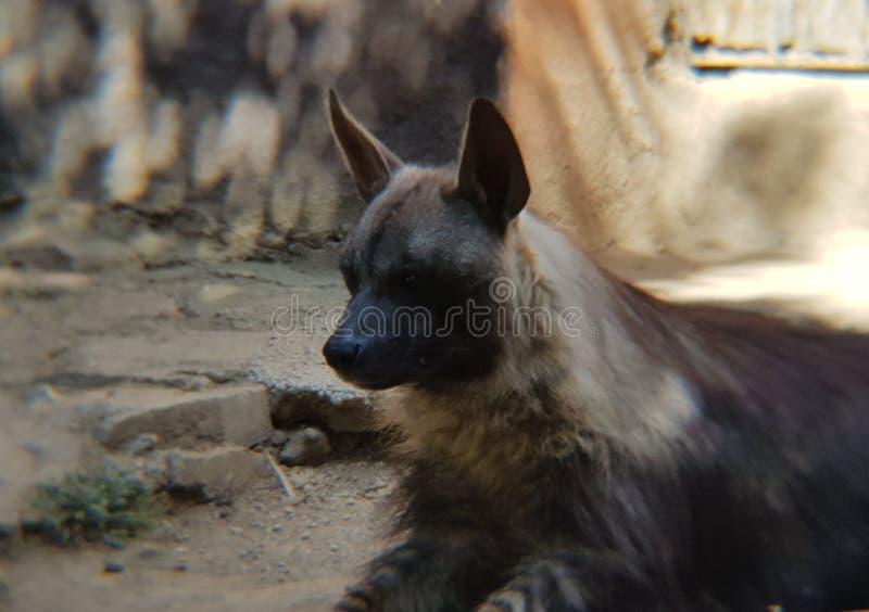 regard d'hyène brune photos stock