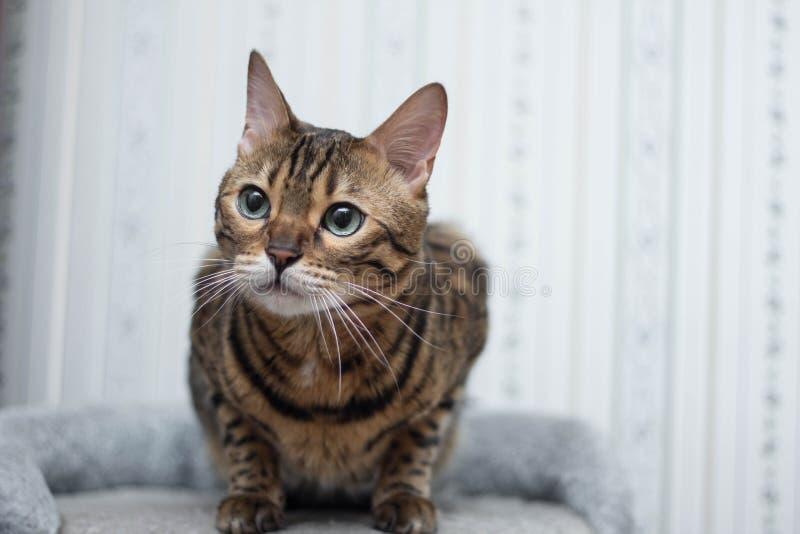 Regard de chat du Bengale photo stock