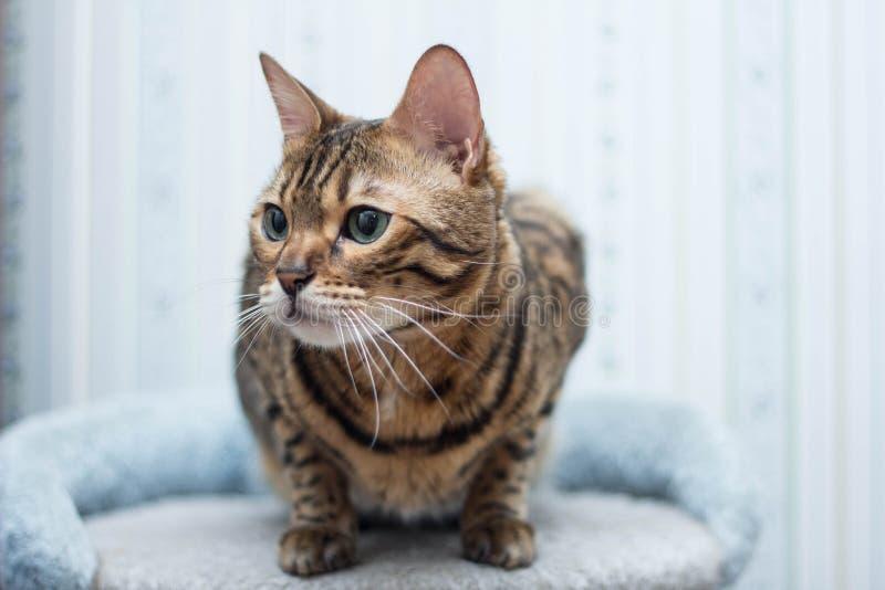 Regard de chat du Bengale image libre de droits
