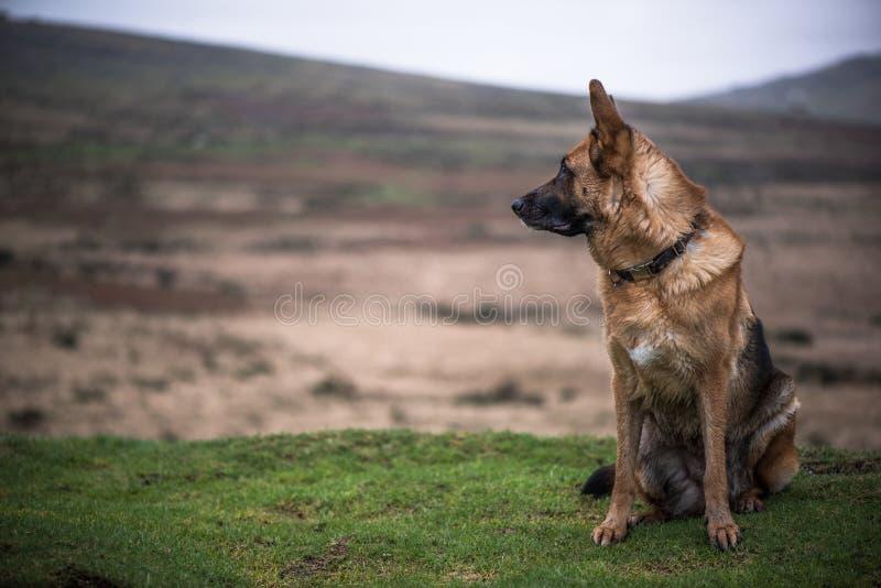 Regard de chien de sécurité de berger allemand photo stock