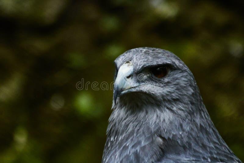 Regard de gestion de paiement beau de l'aigle image libre de droits