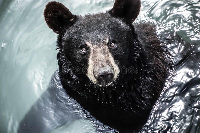 Regard de l'ours photo libre de droits