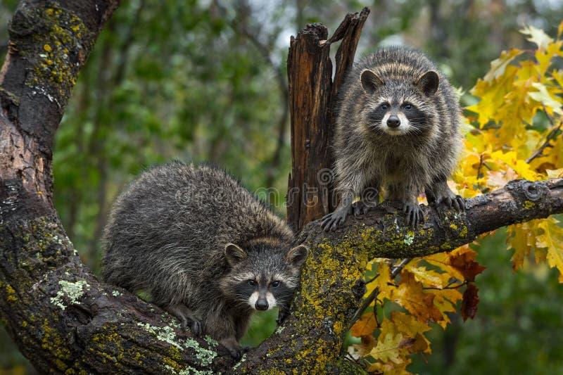Regard de lotor de Procyon de ratons laveurs d'Autumn Tree photographie stock libre de droits