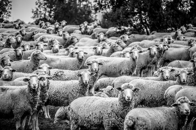 regard de moutons photo libre de droits