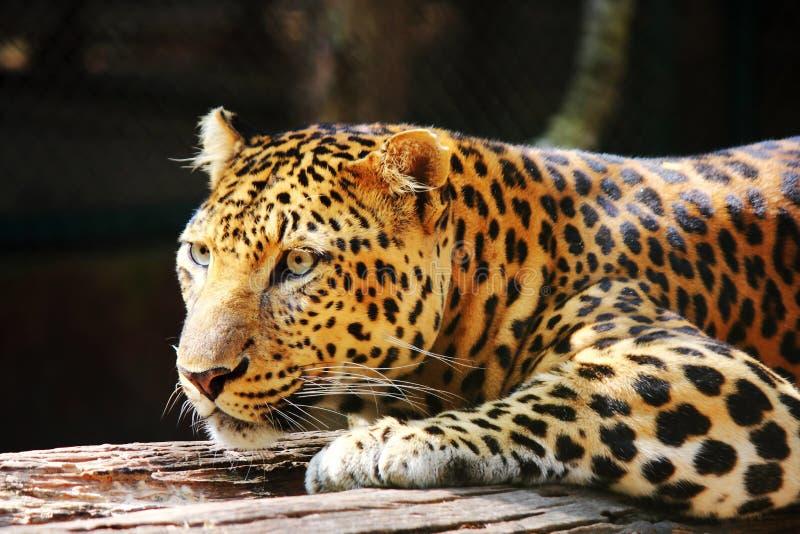 Regard de panthère de léopard photo stock